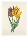 Tulipe de Gesner: Tulipa Gesneriana Giclee Print by  Langlois