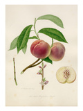 The Red Magdalene peach Giclee Print by William Hooker