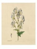 Aconitum variegatum Giclee Print by James Sowerby