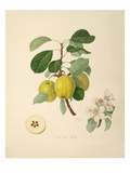 The Wax Apple Giclee Print by William Hooker