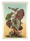Begonia Rex var. Imperator Giclee Print by A. Gatternicht