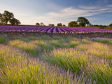 The Scent of Summer Photographic Print by Doug Chinnery