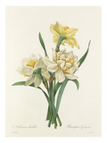 Narcisses doubles: Narcissus Gouani Giclee Print by Joseph Marie Bessin