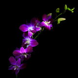 Purple Dendrobium Orchids Photographic Print by Magda Indigo