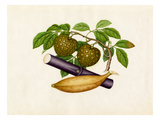 Annona squamosa, Musa × paradisiaca, Saccharum officinarum Giclee Print by  Wang Lui Chi