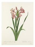 Glayeul colour de Laque: Gladiolus Laccatus Giclee Print by  Chapuy