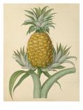 The Black Jamaica Pine Impression giclée par William Hooker