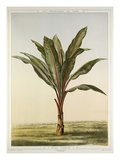 Musa ensete Giclee Print by Fran&#231;ois Fr&#233;d&#233;ric Grobon