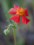 Geum coccineum Photographic Print by Carol Sheppard