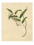 Eustrephus latifolius Giclee Print by Sydenham Teast Edwards