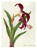 Jacobean Lily Giclee Print by James Bolton
