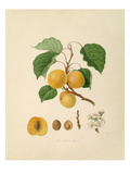 The Breda Apricot Giclee Print by William Hooker