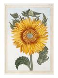 Helianthus annus Giclee Print by Pierre Joseph Buchoz