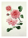 Rosa Dream Girl Giclee Print by Graham Stuart Thomas