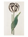 Tulip Giclée-tryk af James Sowerby