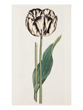 Tulip Giclee Print by James Sowerby