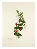Passiflora perfoliata Giclee Print by Mary Lawrance