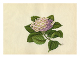 Hydrangea macrophylla Giclee Print by  Wang Lui Chi