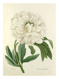 Pivoine: Paeonia officinalis Giclee Print by Joseph Marie Bessin
