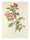 Sweet-Briar Janets Pride Giclee Print by Alfred William Parsons