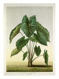 Colocasia Bataviensis Giclee Print by G Severeyns
