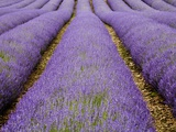 Lavendar Rows Photographic Print by Doug Chinnery