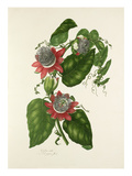 Passiflora alata Giclee Print by Mary Lawrance