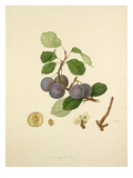 The Royale Plum Giclee Print by William Hooker