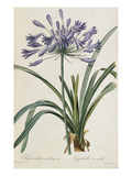 Agapanthus africanus Giclee Print by Pierre-Joseph Redouté