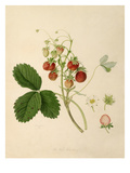 The Pine Strawberry Giclee Print by William Hooker