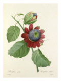Passiflore ailée: Passiflora alata Giclee Print by  Langlois