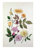 Rosa Alister Stella Gray, Rosa Blush Noisette, Rosa Celine Forestier Premium Giclee Print by Graham Stuart Thomas