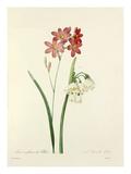 1. Ixia à fleurs de Phlox. 2. Niveole dété Giclee Print by  Langlois