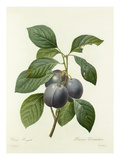Prune Royale: Prunus Domestica Giclee Print by  Langlois