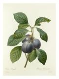 Prune Royale: Prunus Domestica Premium Giclee Print by  Langlois