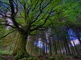 Ponthus Beech Tree 1 Photographic Print by Philippe Manguin
