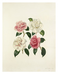 Camellia species Giclee Print by Augusta Innes Withers