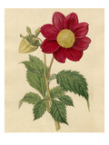 Dahlia superflua Giclee Print by Sydenham Teast Edwards