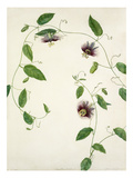 Passiflora maliformis Giclee Print by Margaret Meen