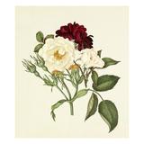 Rosa moschata, Rosa gallica Tuscany Giclee Print by Caroline Maria Applebee