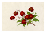 Litchi chinensis Premium Giclee Print by  Wang Lui Chi