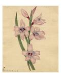 Gladioli blandi. var G Giclee Print by Sydenham Teast Edwards