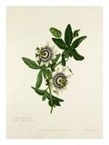 Passiflora caerulea Giclee Print by Mary Lawrance