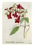 Bignonia echinata, Hedge-hog Trumpet Flower Giclee Print by James Bolton