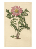 Chrysanthemum roseum Giclee Print by Sydenham Teast Edwards