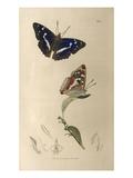 Apatura iris Giclee Print by John Curtis