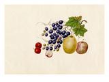 Vitis vinifera, Malus prunifolia, Pyrus communis, Sorbus megalocarpa Giclee Print by  Wang Lui Chi