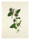 Passiflora serratifolia Giclee Print by Mary Lawrance