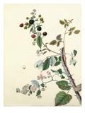 Rubus fruticosus Giclee Print by Margaret Meen