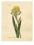 Iris sordida Giclee Print by John Curtis